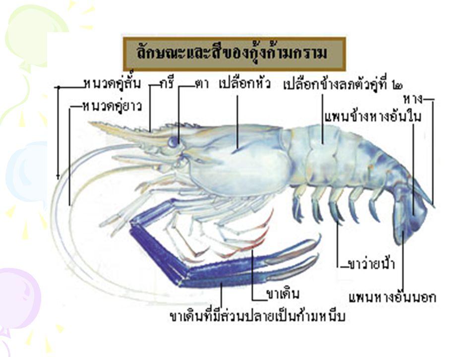 ถ้ากุ้งมีขนาดเล็กจะต้องดูที่ขาว่ายน้ำคู่ที่ 2 ถ้าเพศเมียตรงปลายขาว่ายน้ำคู่ที่ 2 ตรง ปล้องสุดท้ายแยกออกเป็นแขนง 3 อัน โดย อันเล็กสุดอยู่ด้านใน ถ้าเพศผู้แยกเป็น แขนง 4 อัน เมื่อโตเต็มวัยตัวผู้จะใหญ่กว่า ตัวเมียและตัวผู้ก้ามใหญ่กว่า แต่เปลือกหุ้ม ตัวส่วนท้องของตัวผู้จะแคบกว่าตัวเมีย ช่อง เปิดสำหรับน้ำเชื้อตัวผู้จะอยู่บริเวณขาเดินคู่ ที่ 5 ตัวเมียช่องเปิดสำหรับไข่อยู่ที่โคนขาคู่ ที่ 3 เพศผู้ เพศเมีย ความแตกต่างระหว่างกุ้งเพศผู้ และเพศเมีย