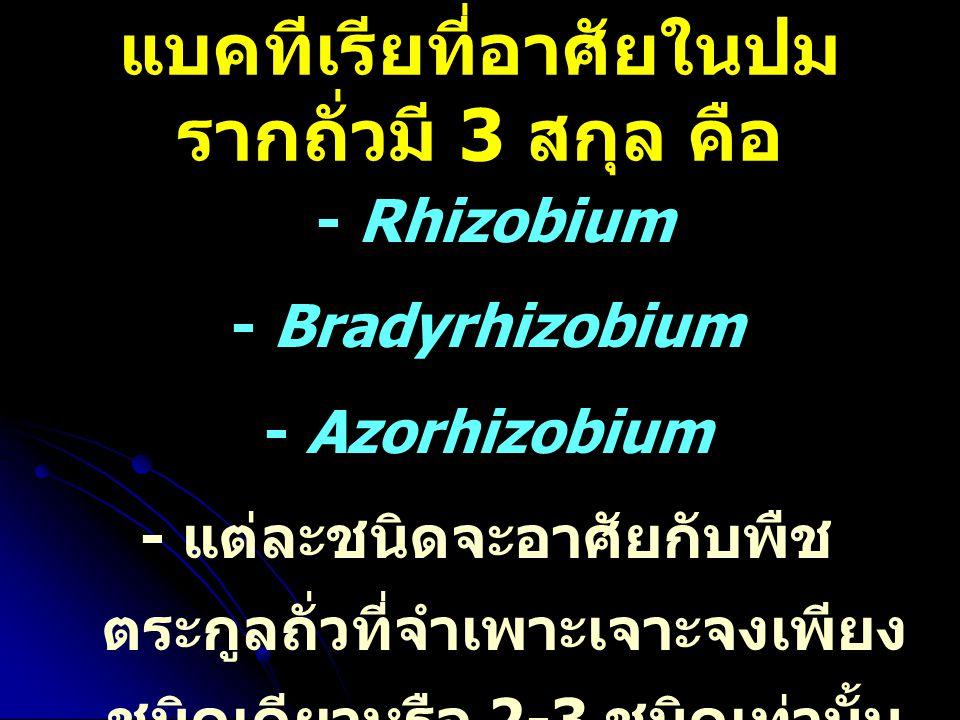 แบคทีเรียที่อาศัยในปม รากถั่วมี 3 สกุล คือ - Rhizobium - Bradyrhizobium - Azorhizobium - แต่ละชนิดจะอาศัยกับพืช ตระกูลถั่วที่จำเพาะเจาะจงเพียง ชนิดเดี
