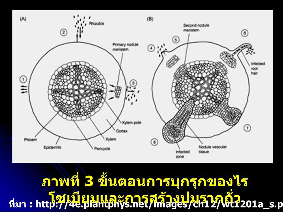 ที่มา : http://4e.plantphys.net/images/ch12/wt1201a_s.png ภาพที่ 3 ขั้นตอนการบุกรุกของไร โซเบียมและการสร้างปมรากถั่ว