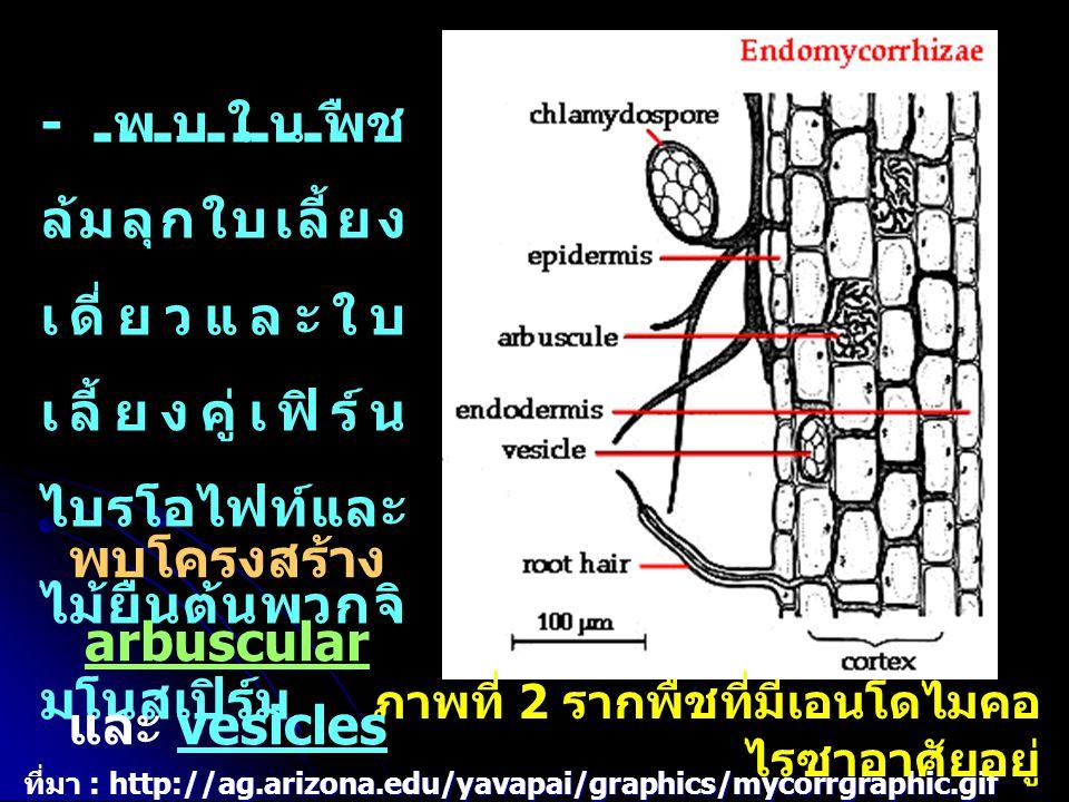 - หลังจากที่ไรโซเบียมเกาะและ เพิ่มจำนวนบนพื้นผิวรากถั่ว จะชัก นำให้เกิดการเปลี่ยนแปลงใน เนื้อเยื่อของราก คือ และเคลื่อนที่เข้าสู่เซลล์ โดยเซลล์ขนรากจะสร้างหลอดเมม เบรนที่เรียกว่า นำไรโซเบียมเข้าไปถึง คอร์เท็ก - หลังจากที่ไรโซเบียมเกาะและ เพิ่มจำนวนบนพื้นผิวรากถั่ว จะชัก นำให้เกิดการเปลี่ยนแปลงใน เนื้อเยื่อของราก คือ มีการสร้างขน รากมากขึ้น รากอ้วนและสั้น ปลาย รากม้วนงอ และสร้างเอนไซม์ย่อย ผนังเซลล์ และเคลื่อนที่เข้าสู่เซลล์ โดยเซลล์ขนรากจะสร้างหลอดเมม เบรนที่เรียกว่า infection thread นำไรโซเบียมเข้าไปถึง คอร์เท็ก