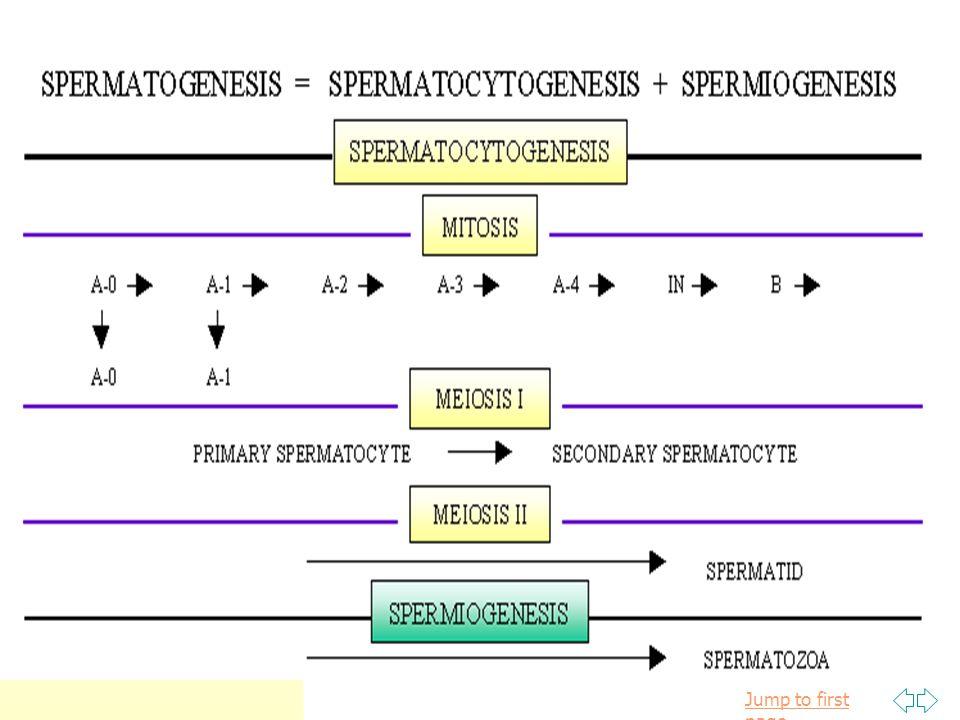 Maturation phase ต่อเนื่อง กับ Spermiation