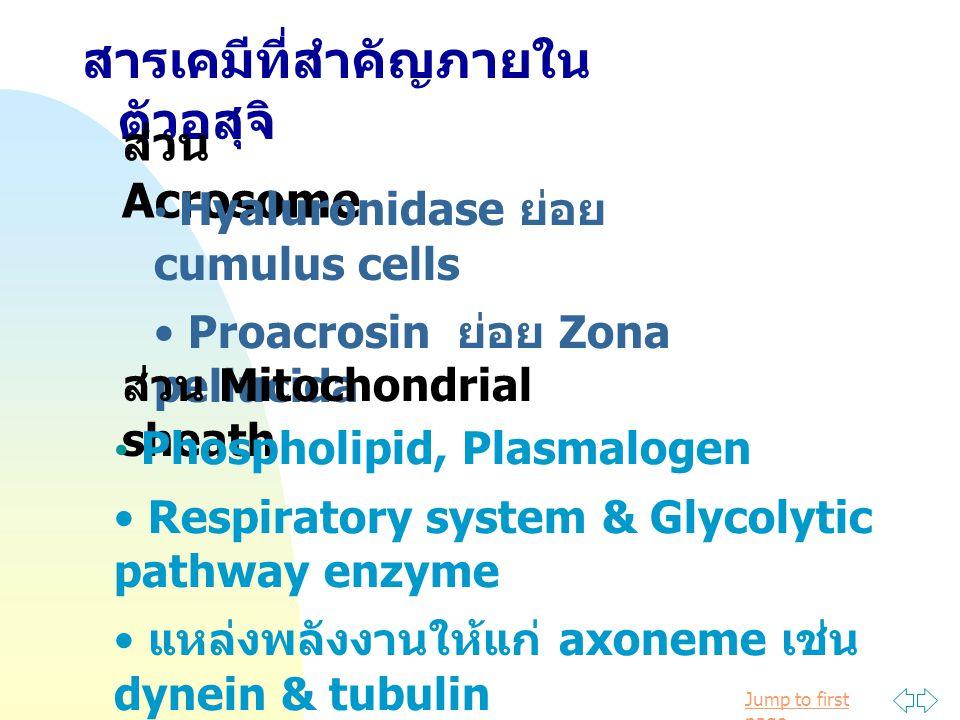 Jump to first page สารเคมีที่สำคัญภายใน ตัวอสุจิ ส่วน Acrosome Hyaluronidase ย่อย cumulus cells Proacrosin ย่อย Zona pellucida ส่วน Mitochondrial sheath Phospholipid, Plasmalogen Respiratory system & Glycolytic pathway enzyme แหล่งพลังงานให้แก่ axoneme เช่น dynein & tubulin