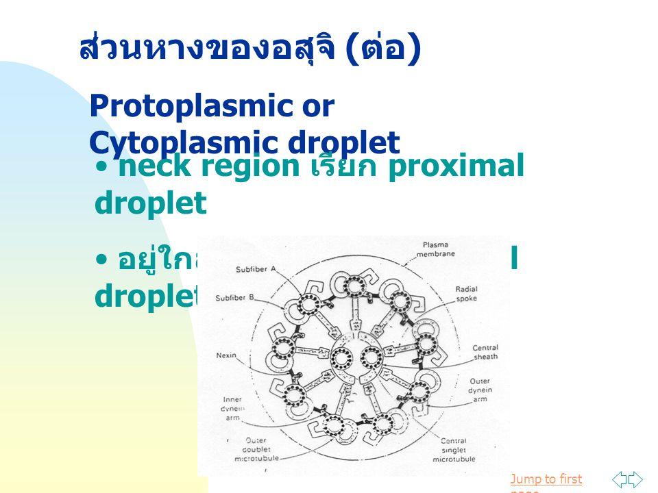 Jump to first page ส่วนหางของอสุจิ ( ต่อ ) Protoplasmic or Cytoplasmic droplet neck region เรียก proximal droplet อยู่ใกล้ annulus เรียก distal droplet