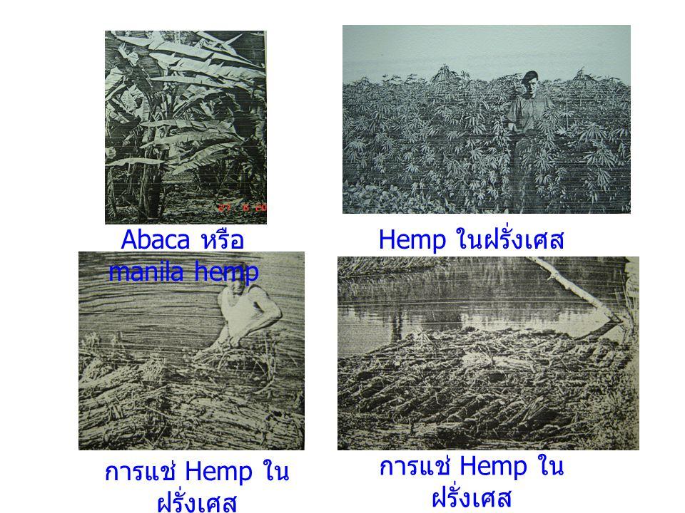 Abaca หรือ manila hemp Hemp ในฝรั่งเศส การแช่ Hemp ใน ฝรั่งเศส
