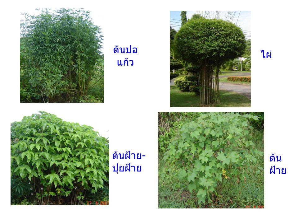 ไม้ประดับเป็นพืชตระกูล Agave ( ในกลุ่มพืชป่าน ศรนารายณ์ ) ยูคาลิบตัส