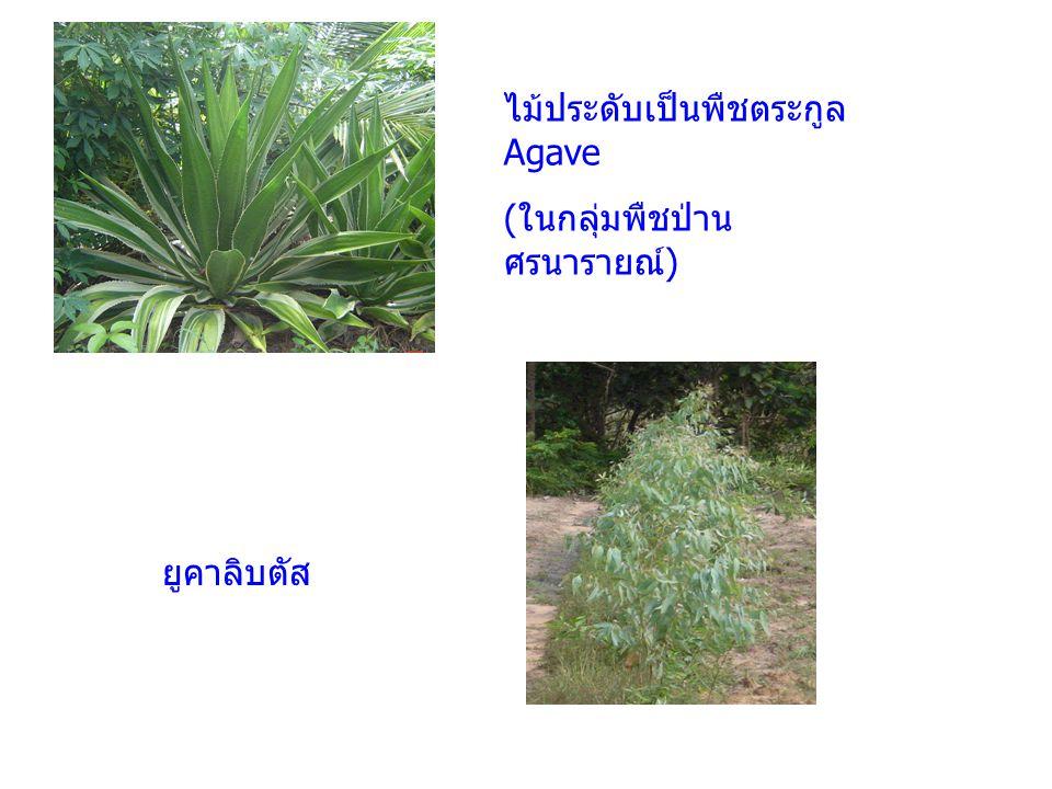 ต้นนุ่น (Kapok)