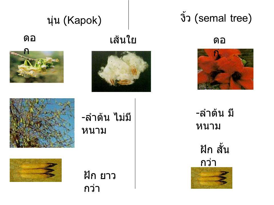 นุ่น (Kapok) ดอ ก งิ้ว (semal tree) - ลำต้น ไม่มี หนาม - ลำต้น มี หนาม เส้นใย ฝัก ยาว กว่า ฝัก สั้น กว่า