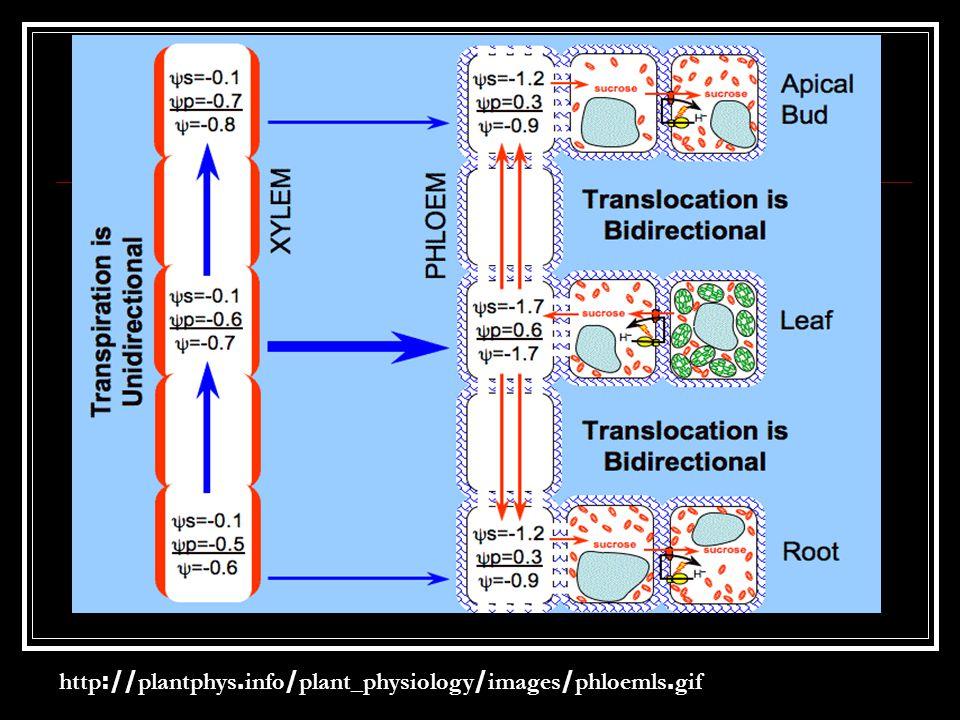 หรือ 4.) ซูโครสผ่านเข้าไปกับโปรตีน ขนส่งทางโทโนพลาสต์เมมเบรนไป เก็บไว้ในแวคิลโดย 5.) เมื่อซูโครสเข้าไปในแวคิวโอล อาจเปลี่ยนรูปเป็นกลูโคสและ ฟรุกโทสโดยเอนไซม์อินเวอร์เทสที่ อยู่ในแวคิวโอล หรือเก็บสะสมในรูป ซูโครสก็ได้