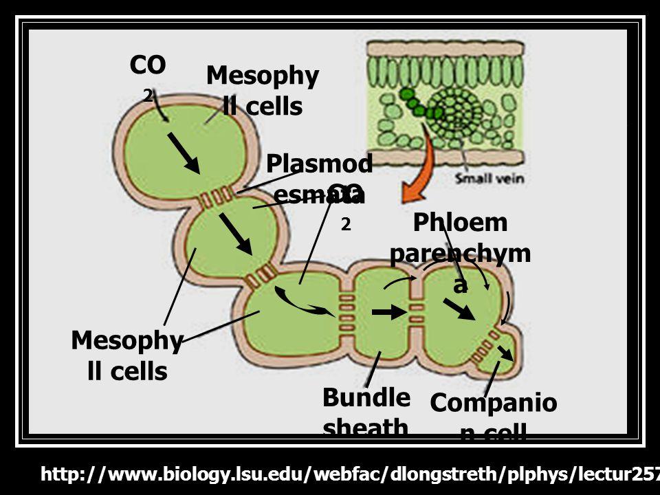 www.biology.lsu.edu/.../plphys/lectur e_13.htm