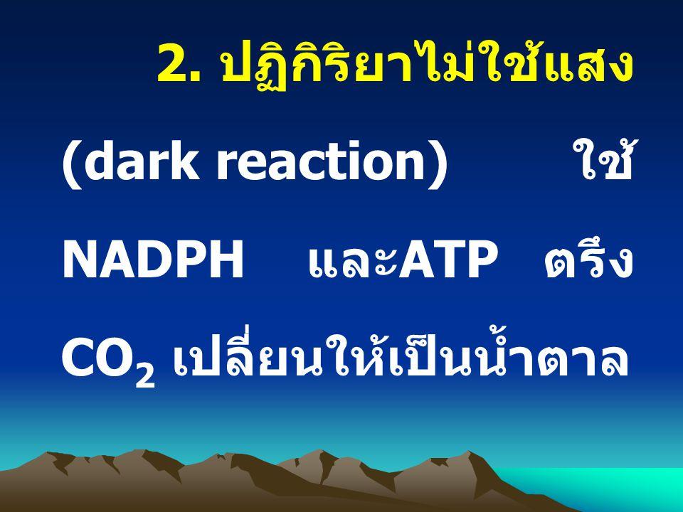 2. ปฏิกิริยาไม่ใช้แสง (dark reaction) ใช้ NADPH และ ATP ตรึง CO 2 เปลี่ยนให้เป็นน้ำตาล