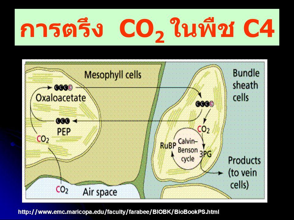 การตรึง CO 2 ในพืช C4 http://www.emc.maricopa.edu/faculty/farabee/BIOBK/BioBookPS.html