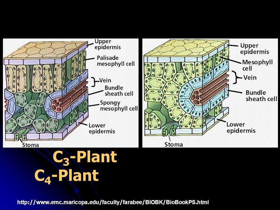 C 3 -Plant C 4 -Plant http://www.emc.maricopa.edu/faculty/farabee/BIOBK/BioBookPS.html