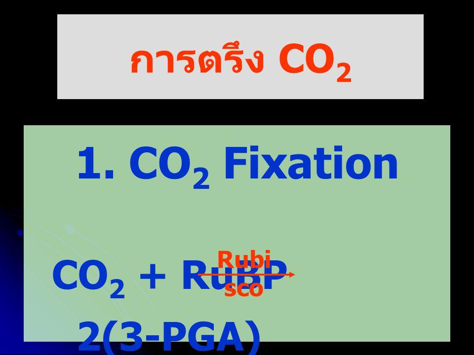 2. Reduction 3. Regeneration of CO 2 receptor (RuBP)