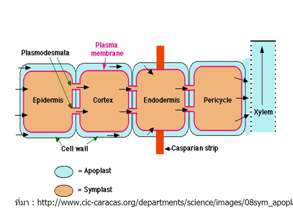ที่มา : http://www.cic-caracas.org/departments/science/images/08sym_apoplast.gif