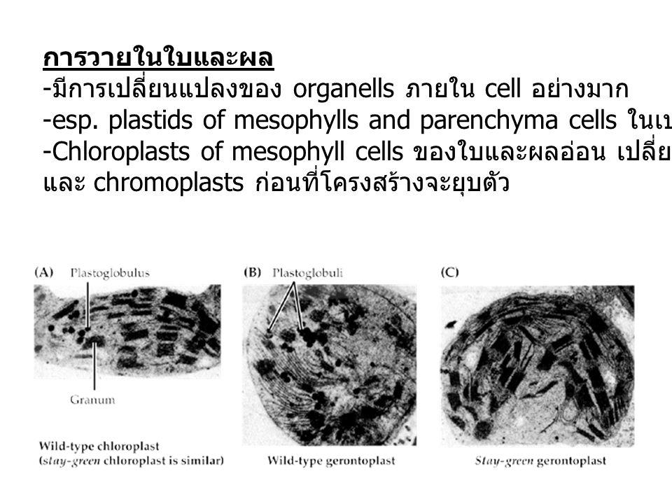 การวายในใบและผล - มีการเปลี่ยนแปลงของ organells ภายใน cell อย่างมาก -esp. plastids of mesophylls and parenchyma cells ในเปลือก (pericarp) -Chloroplast