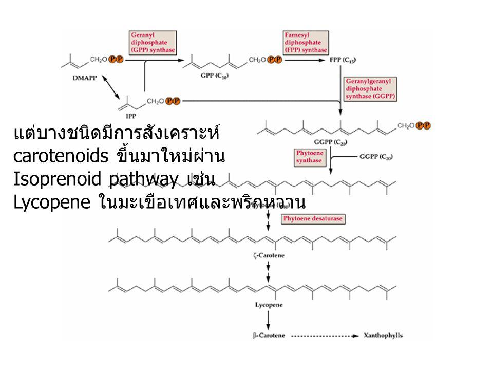 แต่บางชนิดมีการสังเคราะห์ carotenoids ขึ้นมาใหม่ผ่าน Isoprenoid pathway เช่น Lycopene ในมะเขือเทศและพริกหวาน
