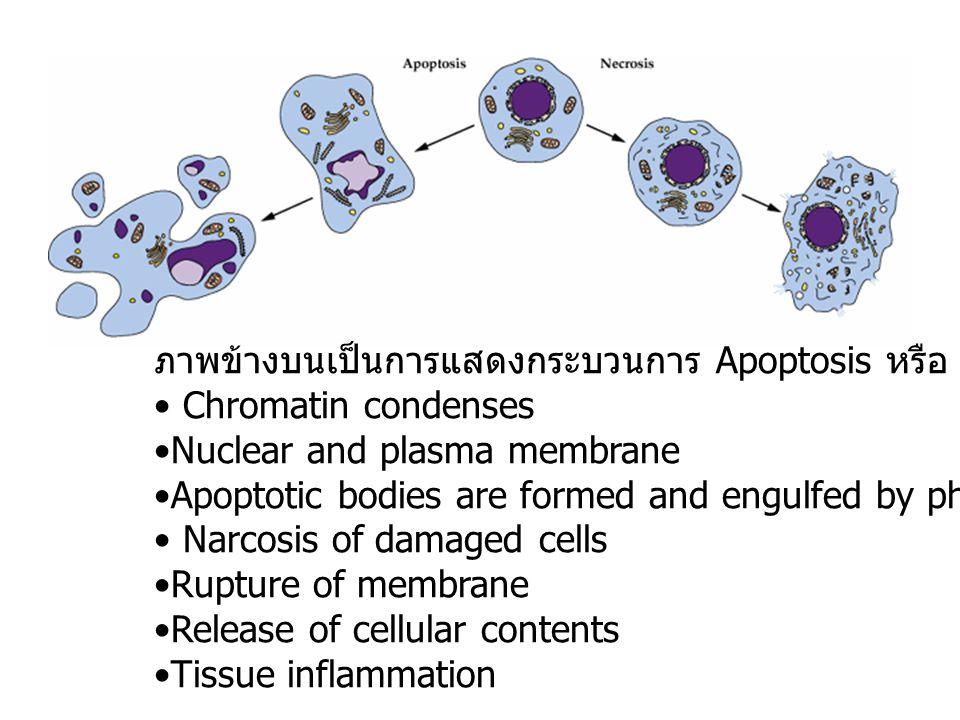 ภาพข้างบนเป็นการแสดงกระบวนการ Apoptosis หรือ PCD ในเซลล์สัตว์ Chromatin condenses Nuclear and plasma membrane Apoptotic bodies are formed and engulfed