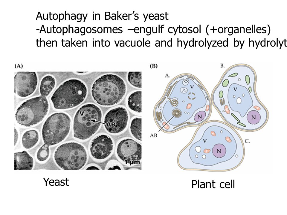 Autophagy in Baker's yeast -Autophagosomes –engulf cytosol (+organelles) then taken into vacuole and hydrolyzed by hydrolytic enzymes. Plant cell Yeas