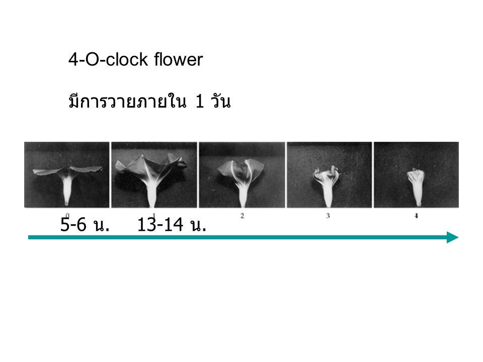 4-O-clock flower 5-6 น.13-14 น. มีการวายภายใน 1 วัน