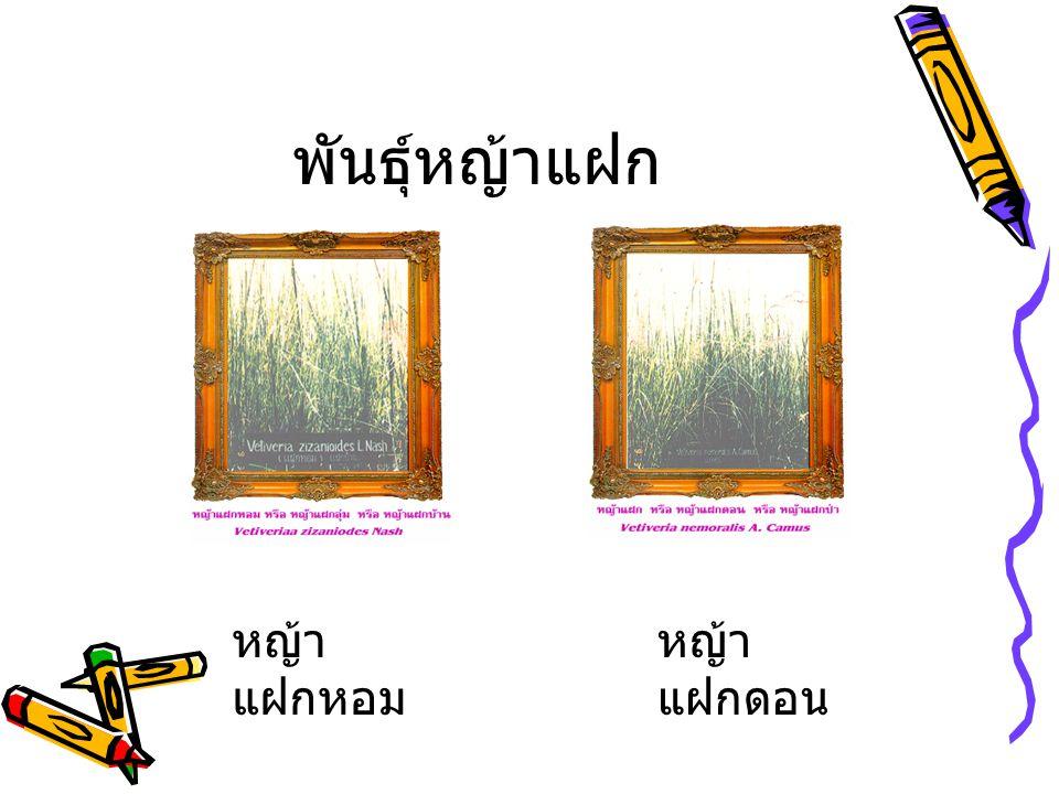 พันธุ์หญ้าแฝก หญ้า แฝกหอม หญ้า แฝกดอน