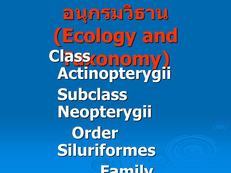นิเวศน์วิทยาและ อนุกรมวิธาน (Ecology and Taxonomy) Class Actinopterygii Subclass Neopterygii Order Siluriformes Family Pangasiidae Family Pangasiidae