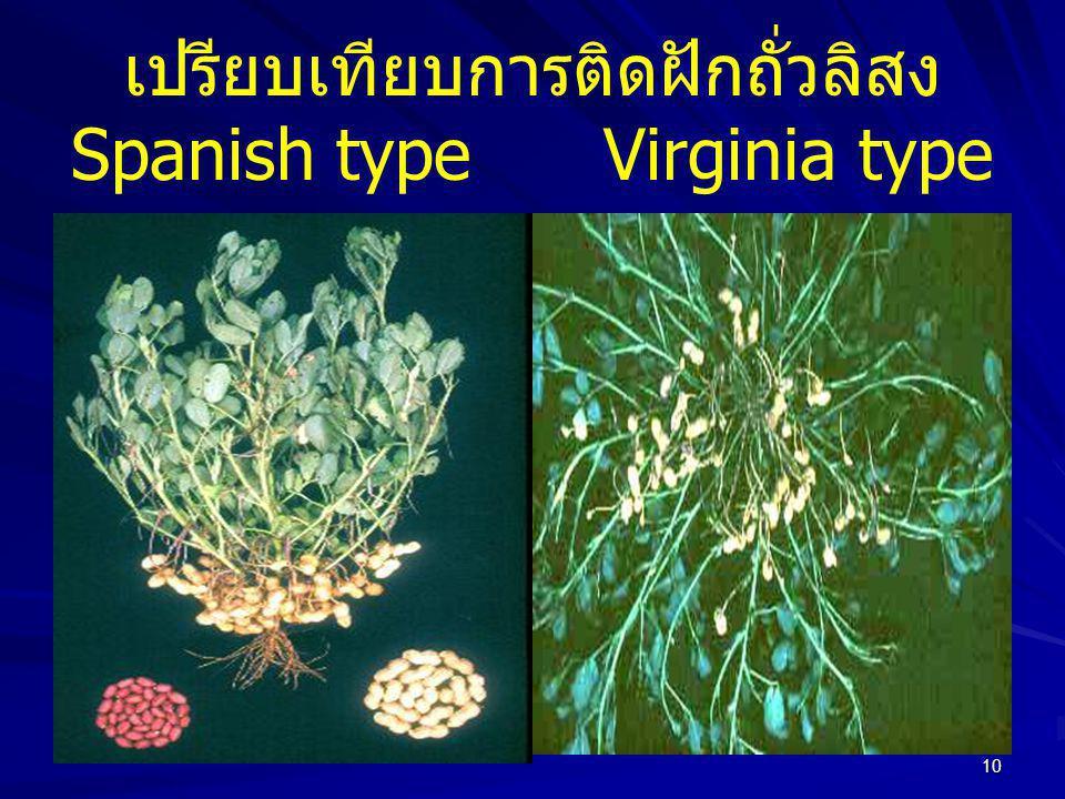 10 เปรียบเทียบการติดฝักถั่วลิสง Spanish typeVirginia type