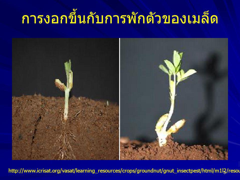 3 การงอกขึ้นกับการพักตัวของเมล็ด http://www.icrisat.org/vasat/learning_resources/crops/groundnut/gnut_insectpest/html/m1l2/resources/1972.html