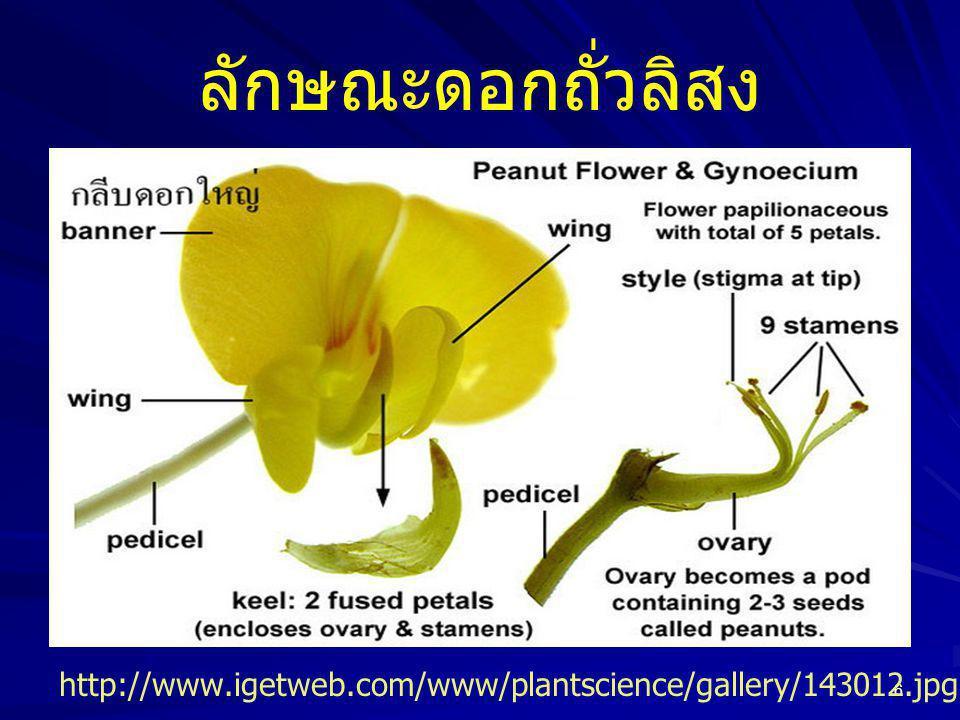 6 ลักษณะดอกถั่วลิสง http://www.igetweb.com/www/plantscience/gallery/143012.jpg