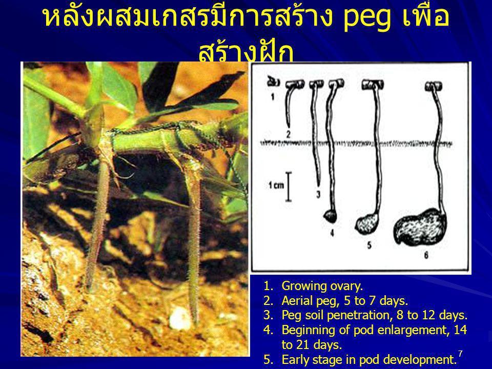 18 พันธุ์ที่ใช้ในรูปฝักแห้ง ปลูกได้ทุก ภาคของประเทศ ถั่วลิสงพันธุ์ขอนแก่น 4