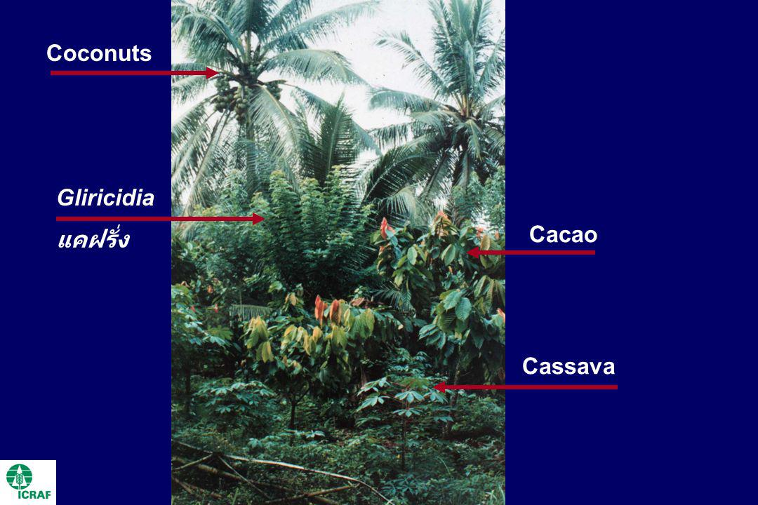 Gliricidia แคฝรั่ง Cacao Cassava Coconuts
