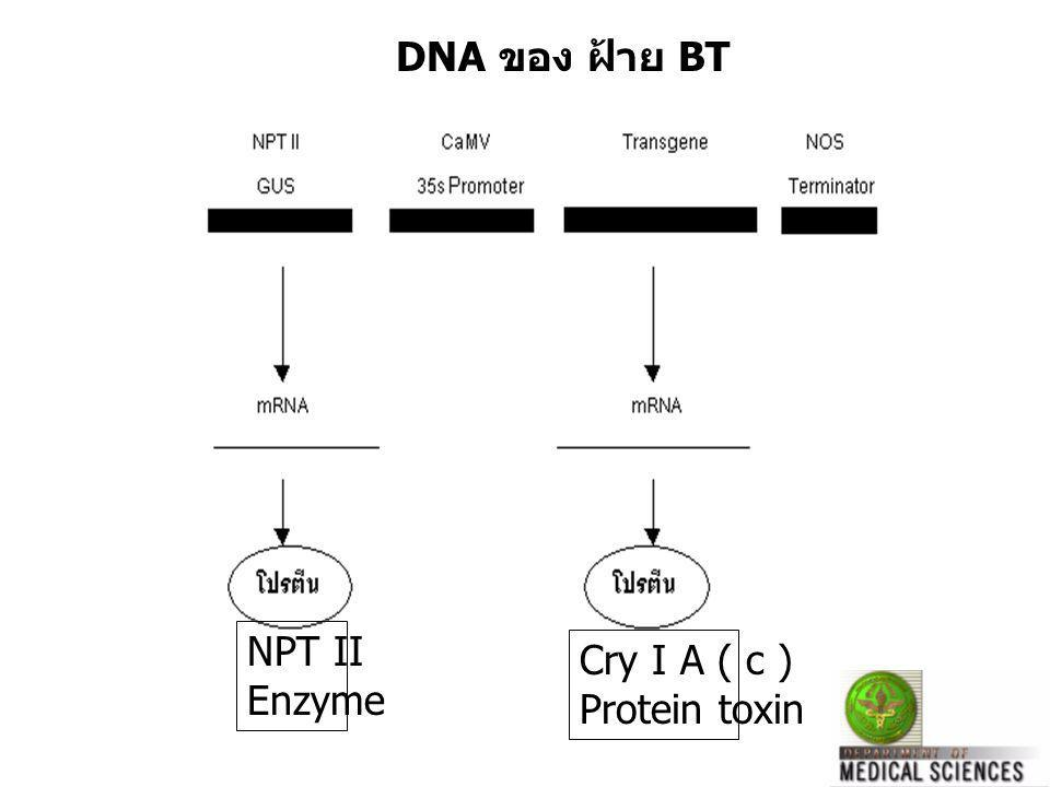 Cry I A ( c ) Protein toxin NPT II Enzyme DNA ของ ฝ้าย BT