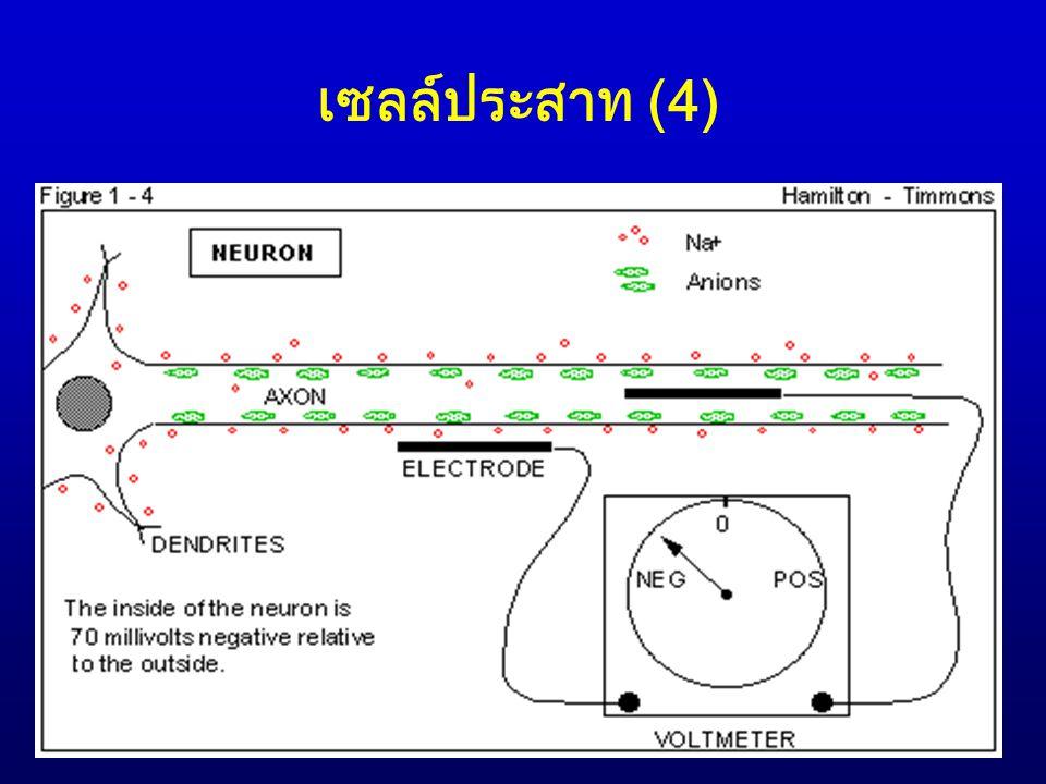 เซลล์ประสาท (5)