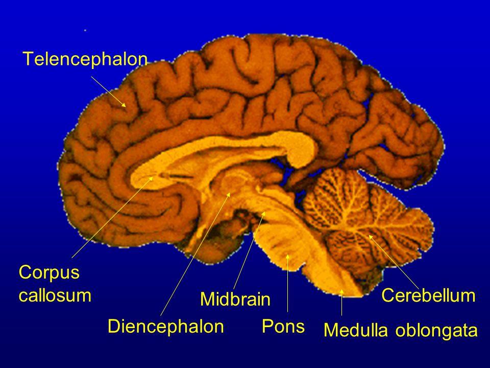 Telencephalon Diencephalon Corpus callosum Midbrain Pons Medulla oblongata Cerebellum