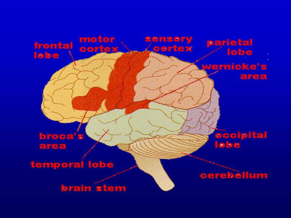 ประสาทกายวิภาค (4) 1.Telencephalon 1.1 Cerebral cortices a.