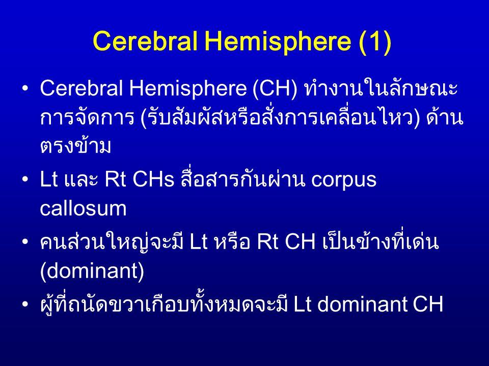 Cerebral Hemisphere (1) Cerebral Hemisphere (CH) ทำงานในลักษณะ การจัดการ (รับสัมผัสหรือสั่งการเคลื่อนไหว) ด้าน ตรงข้าม Lt และ Rt CHs สื่อสารกันผ่าน co