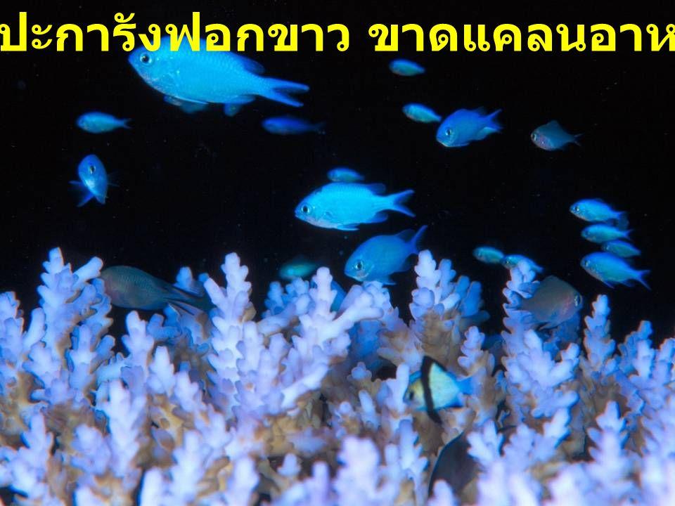ปะการังฟอกขาว ขาดแคลนอาหาร