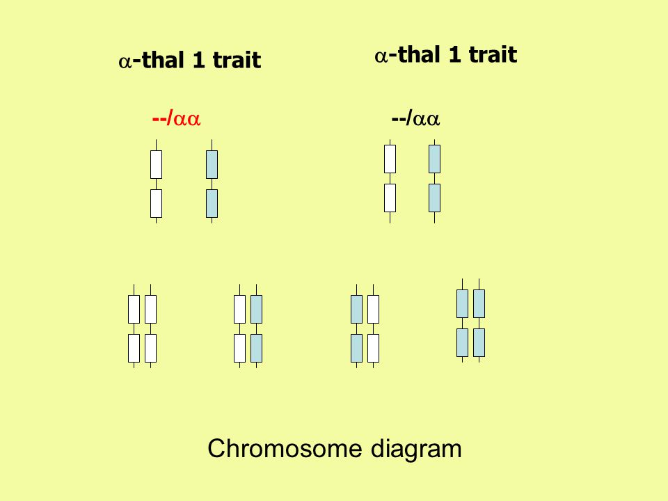--/   -thal 1 trait --/   -thal 1 trait Chromosome diagram