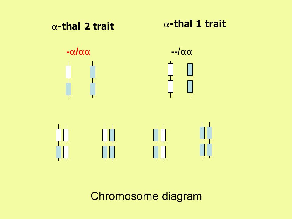 -  /   -thal 2 trait --/   -thal 1 trait Chromosome diagram