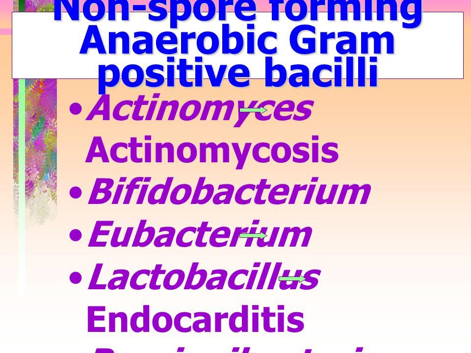 Non-spore forming Anaerobic Gram positive bacilli Actinomyces Actinomycosis Bifidobacterium Eubacterium Lactobacillus Endocarditis Propionibacterium A