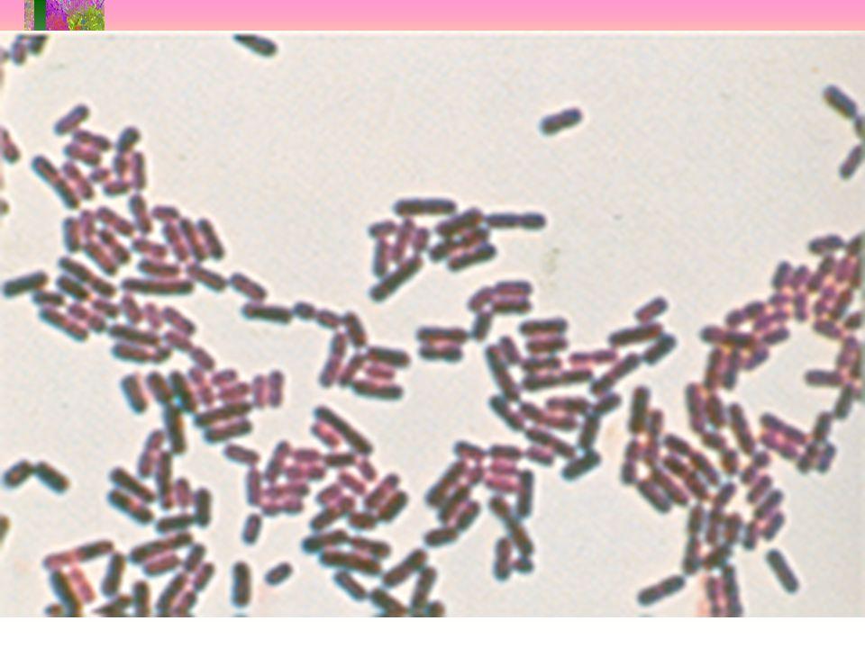 Peptostreptococcus Veillonella