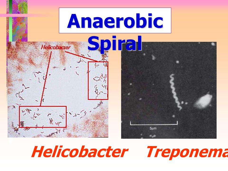 Treponema Anaerobic Spiral Helicobacter
