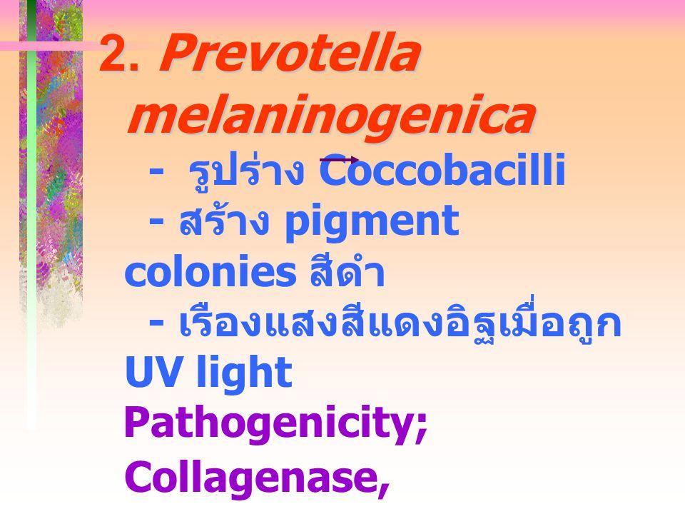 2. Prevotella melaninogenica - รูปร่าง Coccobacilli - สร้าง pigment colonies สีดำ - เรืองแสงสีแดงอิฐเมื่อถูก UV light Pathogenicity; Collagenase, Hyal