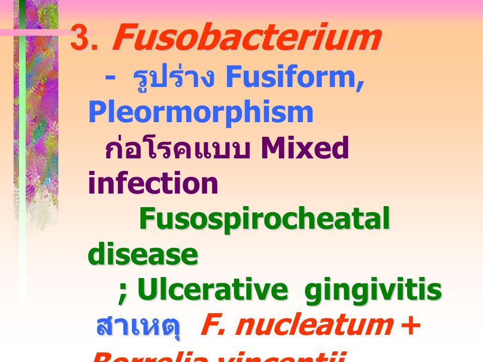 3. Fusobacterium - รูปร่าง Fusiform, Pleormorphism ก่อโรคแบบ Mixed infection Fusospirocheatal disease ; Ulcerative gingivitis สาเหตุ สาเหตุ F. nucleat