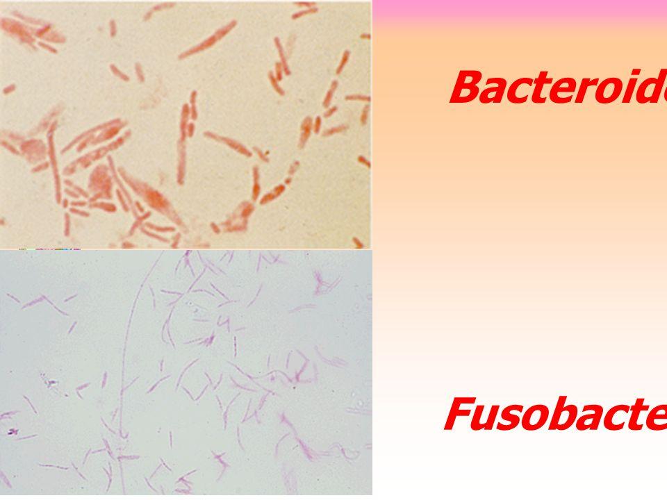 Fusobacterium Bacteroides