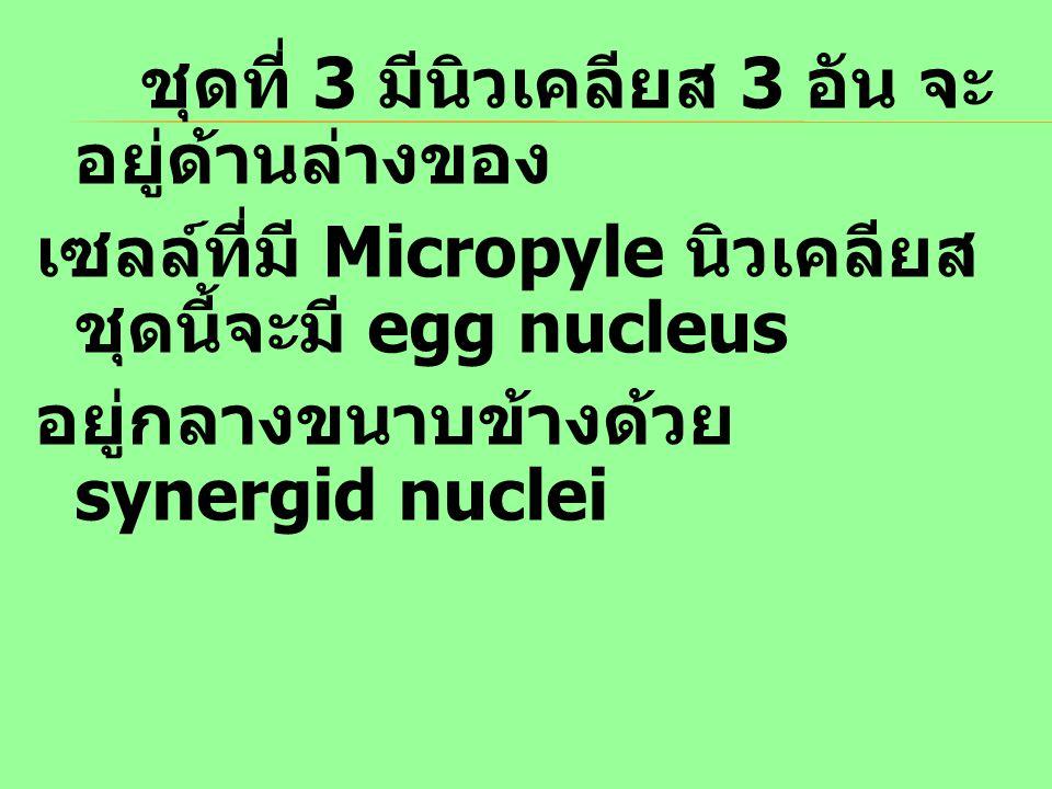 ชุดที่ 3 มีนิวเคลียส 3 อัน จะ อยู่ด้านล่างของ เซลล์ที่มี Micropyle นิวเคลียส ชุดนี้จะมี egg nucleus อยู่กลางขนาบข้างด้วย synergid nuclei