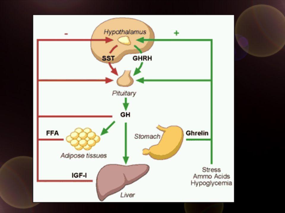 Factors affecting GH secretion Increased GHRH Fasting Ghrelin Estrogen High protein diet Decreased Somatostatin Aging & obesity IGF-1 Excess Glucocorticoids Glucose load