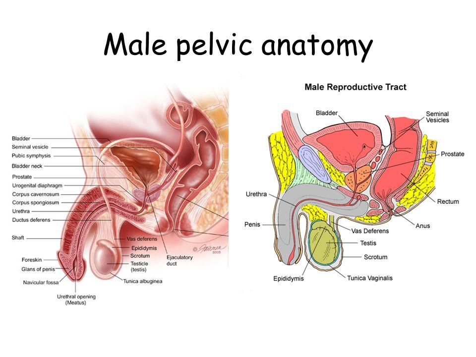 Male pelvic anatomy