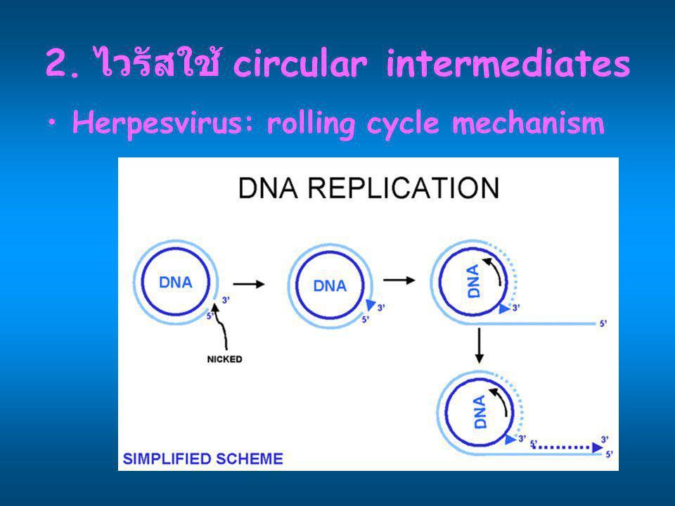2. ไวรัสใช้ circular intermediates Herpesvirus: rolling cycle mechanism