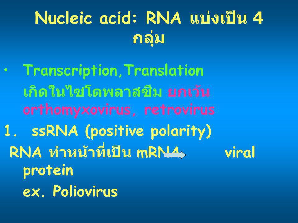 Nucleic acid: RNA แบ่งเป็น 4 กลุ่ม Transcription,Translation เกิดในไซโตพลาสซีม ยกเว้น orthomyxovirus, retrovirus 1. ssRNA (positive polarity) RNA ทำหน