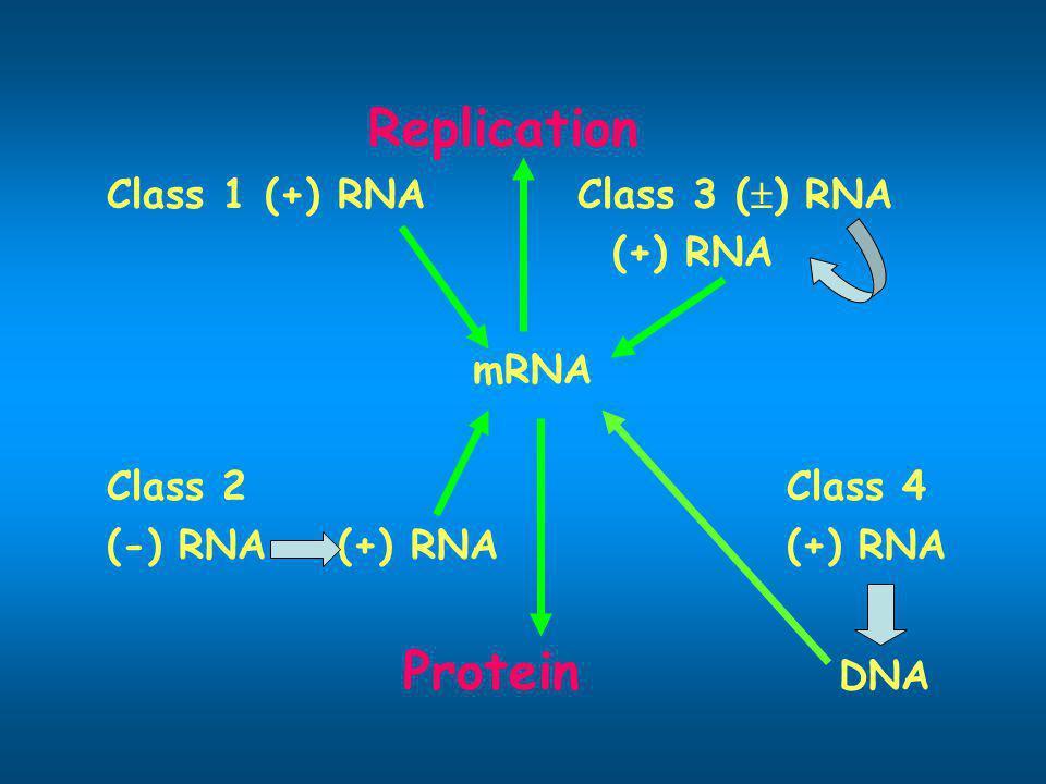 Replication Class 1 (+) RNAClass 3 (  ) RNA (+) RNA mRNA Class 2Class 4 (-) RNA (+) RNA(+) RNA Protein DNA